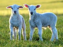 Piccoli agnelli svegli immagine stock