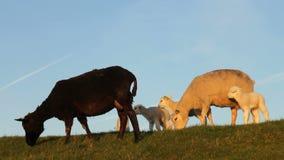 Piccoli agnelli svegli stock footage