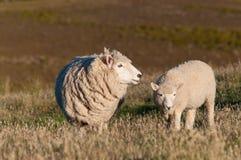 Piccoli agnelli svegli sul prato verde fresco Fotografia Stock