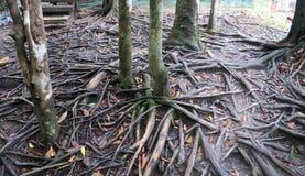 Piccoli alberi con molte radici vicino al fiume immagini stock libere da diritti