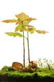 Piccoli alberi di quercia Immagini Stock Libere da Diritti