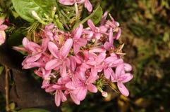 Piccoli Alstroemerias rosa Immagine Stock Libera da Diritti