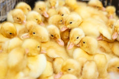 Piccoli anatroccoli gialli su un'azienda avicola Immagini Stock Libere da Diritti