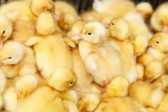 Piccoli anatroccoli gialli su un'azienda avicola Fotografia Stock