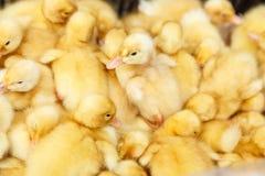 Piccoli anatroccoli gialli su un'azienda avicola Immagini Stock