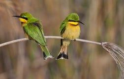 Piccoli Bee-Eaters - delta di Okavango - il Botswana Fotografia Stock Libera da Diritti