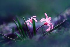 Piccoli bucaneve blu dei fiori, paesaggio della molla Fotografia Stock