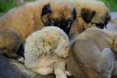 Piccoli cani Fotografie Stock