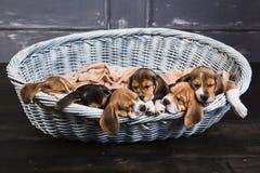 Piccoli cani da lepre in grande canestro Fotografia Stock