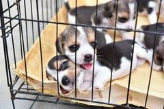 Piccoli cani da lepre nella gabbia del cane Immagine Stock Libera da Diritti