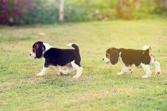 Piccoli cani da lepre svegli Immagine Stock