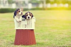 Piccoli cani da lepre svegli Fotografia Stock