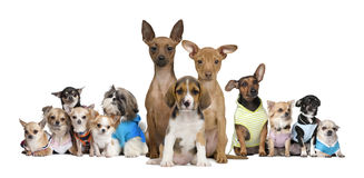 Piccoli cani davanti a priorità bassa bianca Immagini Stock