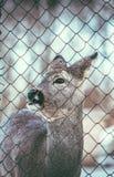 Piccoli cervi del bambino all'aperto Fotografie Stock