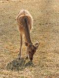 Piccoli cervi nobili sul prato Fotografia Stock Libera da Diritti