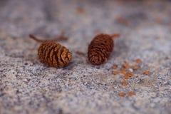 Piccoli coni del pino fotografia stock libera da diritti