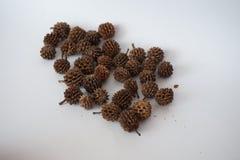 Piccoli coni della conifera tropicale Fotografia Stock