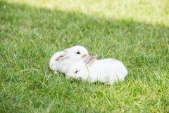 Piccoli conigli bianchi in erba immagini stock