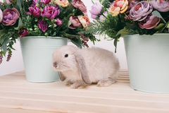 Piccoli conigli decorativi svegli Fotografie Stock
