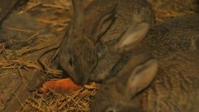 Piccoli conigli grigi in un granaio che mangiano le carote stock footage