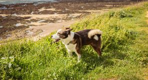 Piccoli Corgis di Lingua gallese del cane del Pembroke che camminano sulla spiaggia Immagini Stock