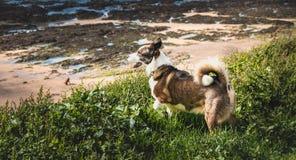 Piccoli Corgis di Lingua gallese del cane del Pembroke che camminano sulla spiaggia Fotografia Stock