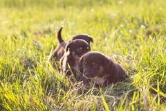 Piccoli cuccioli che corrono sull'erba, luce morbida Immagini Stock
