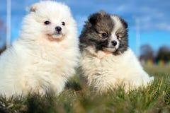Piccoli cuccioli Cuccioli di Pomeranian che giocano PS outdoorPomeranian Fotografia Stock Libera da Diritti