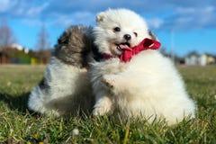 Piccoli cuccioli Cuccioli di Pomeranian che giocano PS outdoorPomeranian Immagine Stock Libera da Diritti