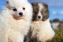 Piccoli cuccioli Cuccioli di Pomeranian che giocano PS outdoorPomeranian Immagini Stock Libere da Diritti