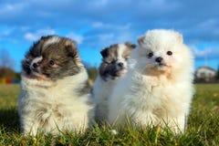 Piccoli cuccioli Cuccioli di Pomeranian che giocano PS outdoorPomeranian Immagine Stock