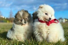 Piccoli cuccioli Cuccioli di Pomeranian che giocano PS outdoorPomeranian Fotografia Stock