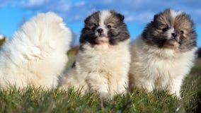 Piccoli cuccioli Cuccioli di Pomeranian che giocano PS outdoorPomeranian Fotografie Stock