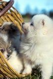 Piccoli cuccioli Cuccioli di Pomeranian che giocano PS outdoorPomeranian Fotografie Stock Libere da Diritti