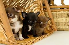 Piccoli cuccioli della chihuahua fotografia stock libera da diritti