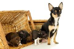Piccoli cuccioli della chihuahua che giocano in un canestro immagini stock