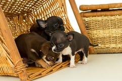 Piccoli cuccioli della chihuahua che giocano in un canestro fotografia stock