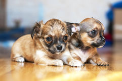 Piccoli cuccioli della chihuahua sul pavimento Fotografie Stock Libere da Diritti