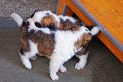 Piccoli cuccioli di St Bernard che giocano alla fossa di scolo di allevamento in Martigny Immagine Stock Libera da Diritti