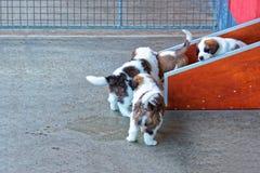 Piccoli cuccioli di St Bernard che giocano nella fossa di scolo di allevamento a Martigny Immagini Stock Libere da Diritti