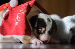 Piccoli cuccioli divertenti svegli del terrier di russell della presa che giocano con una scatola di cartone Fotografia Stock Libera da Diritti