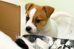 Piccoli cuccioli divertenti svegli del terrier di russell della presa che giocano con una scatola di cartone Fotografia Stock