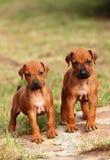Piccoli cuccioli svegli Fotografie Stock