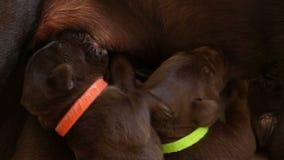 Piccoli cuccioli svegli che curano latte video d archivio