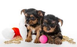 Piccoli cucciolo dell'Yorkshire terrier due e cappello di Santa fotografia stock libera da diritti