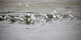 Piccoli Egrets fotografia stock