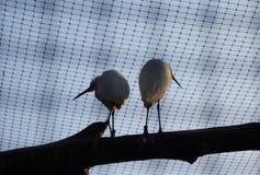 Piccoli Egrets fotografie stock