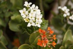 Piccoli fiori arancio & bianchi del giardino Fotografia Stock Libera da Diritti