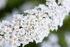 Piccoli fiori bianchi Fotografie Stock
