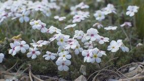Piccoli fiori bianchi Immagine Stock